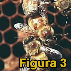 Fig3 Albine cu acarieni Varroa destructor