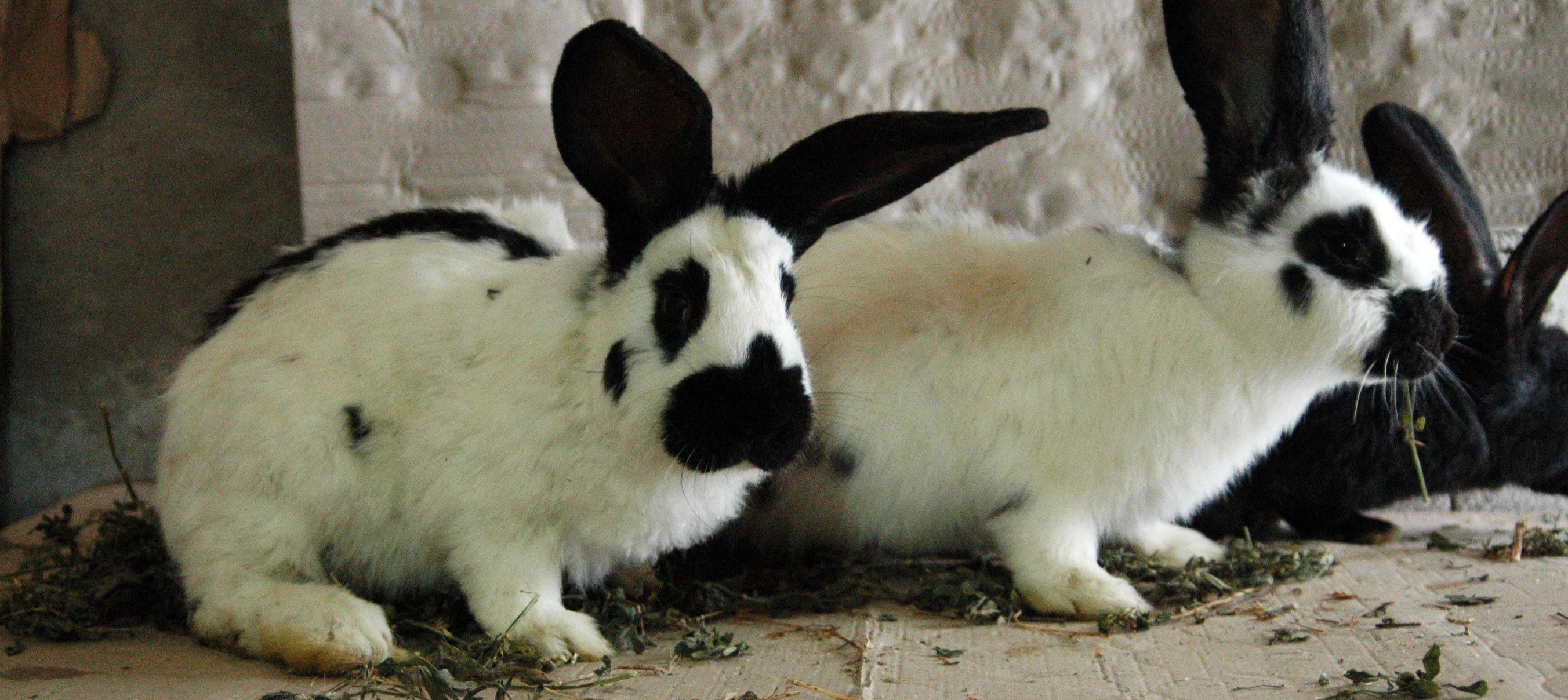Diaree la iepuri: cauze principale, tratament și prevenire