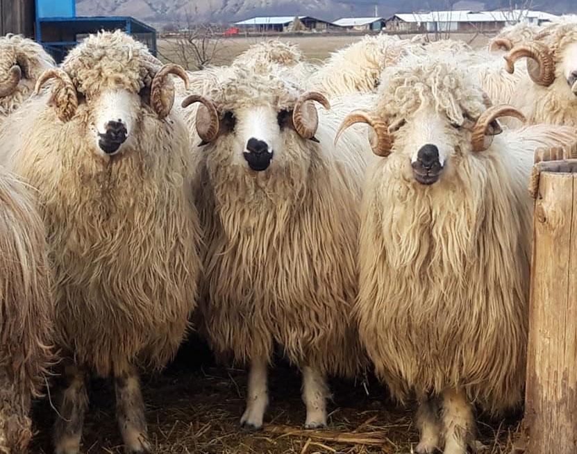 Deparazitarea la oi