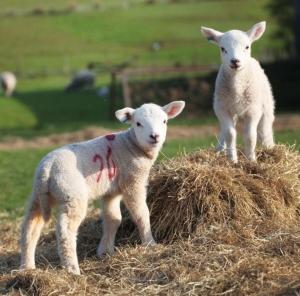 cauze de pierdere în greutate de oi)