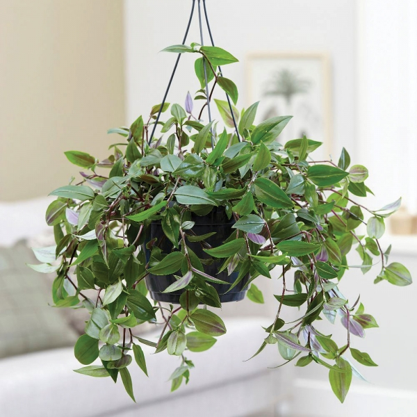 Vechi plante decorative de apartament