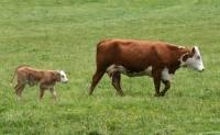 Hrana vacilor dupa fatare