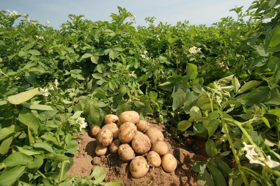 Germeni de cartof tratament comun pentru gută Tratament comun cu varza de cartofi