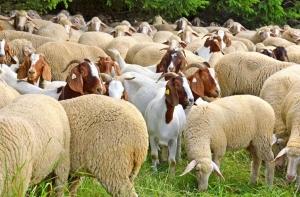 Cenuroza la capre